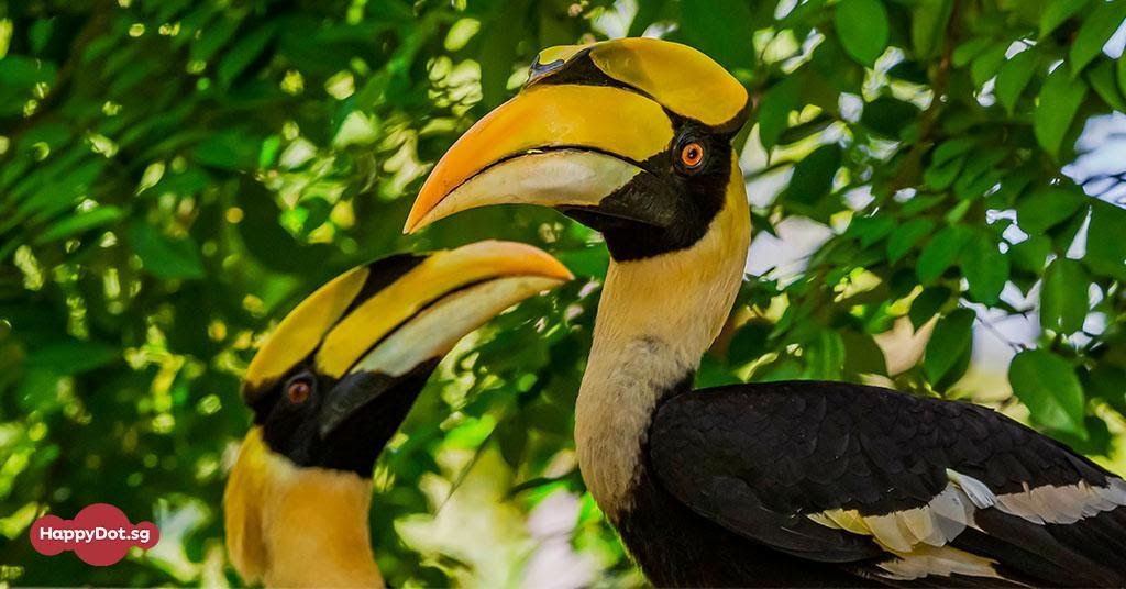 great hornbill bird survey singapore